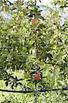 Espaliered Apple Tree, Cawston, Similkameen Country, British Columbia, Canada