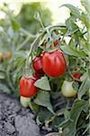 Roma Tomatoes, Cawston, Similkameen Country, British Columbia, Canada