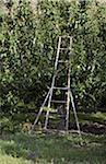 Obstgarten-Ladder und Birne Bäume, Cawston, Similkameen Land, British Columbia, Kanada