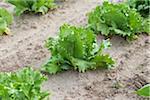 Green Leaf Lettuce, Fenwick, Ontario, Canada