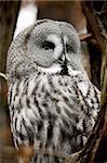 closeup portrait of a bearded owl species