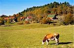 Cow grazing on a field in small Serbian village