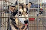 sad Alaskan Malamute closed inside pet carrier
