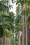Palm Trees, Botanical Gardens, Rio de Janeiro, Brazil