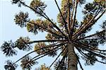 Brazilian Pine Tree, Atlantic Forest, Brazil