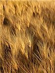 Wheat Field at Sunset, Alberta, Canada