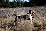 Basset Hound Dog zu Fuß in Feld