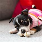 Tiny Puppy Chewing Bone