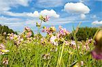 Flower meadow, Brandenburg, Germany