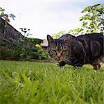 Chat rôder dans le jardin