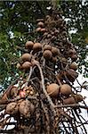 Cannonball Tree (Couroupita guianensis), Cairns, Queensland, Australia, Pacific