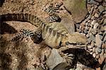 Oriental Dragon d'eau (Physignathus lesuerii), l'Habitat faunique, Port Douglas, Queensland, Australie, Pacifique