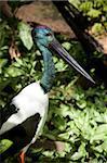 Jabiru (Ephippiorhynchus asiaticus), l'Habitat faunique, Port Douglas, Queensland, Australie, Pacifique