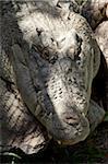 Crocodile estuarien (Crocodylus porosus), l'Habitat faunique, Port Douglas, Queensland, Australie, Pacifique