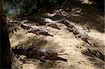 Les crocodiles d'eau douce (Crocodylus johnstoni), l'Habitat faunique, Port Douglas, Queensland, Australie, Pacifique