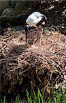 Jabiru (Ephippiorhynchus asiaticus) sur nid contenant des œufs, l'Habitat faunique, Port Douglas, Queensland, Australie et Pacifique