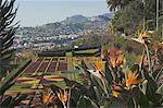Bird of Paradise flowers, Botanical Gardens, Funchal, Madeira, Portugal, Atlantic, Europe