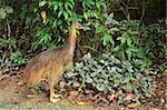 Cassowary, Daintree National Park, UNESCO World Heritage Site, Queensland, Australia, Pacific