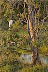 Great egret, Tyto Wetlands, Ingham, Queensland, Australia, Pacific