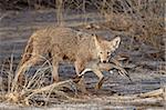 Kojote (Canis Latrans) mit einem NorthernpPintail (Anas Acuta) in seinen Mund, Bosque Del Apache National Wildlife Refuge, New Mexico, Vereinigte Staaten, Nordamerika