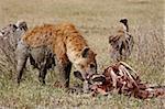 Entdeckt von Hyänen (Crocuta Crocuta) auf die Überreste von Zebra im Angesicht, Tansania, Ostafrika, Afrika