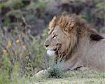 Lion (Panthera leo), le cratère de Ngorongoro, Tanzanie, Afrique de l'est, Afrique