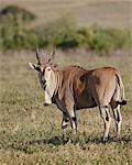 Elenantilope (Taurotragus Oryx), Ngorongoro Crater, Ostafrika, Tansania, Afrika