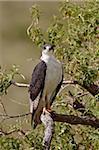 Augur buzzard (Buteo augur), Ngorongoro Crater, Tanzania, East Africa, Africa