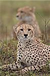 Cheetah (Acinonyx jubatus) brothers, Serengeti National Park, Tanzania, East Africa, Africa