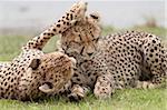 Cheetah (Acinonyx jubatus) mother and an old cub, Serengeti National Park, Tanzania, East Africa, Africa