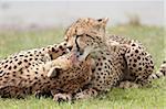 Cheetah (Acinonyx jubatus) mother and an old cub grooming, Serengeti National Park, Tanzania, East Africa, Africa
