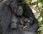 Mère de gorille (Gorilla gorilla beringei) montagne tenant ses jumeaux nourrissons âgés de 20 jours et soins infirmiers un, Parc National des volcans, Rwanda, Afrique