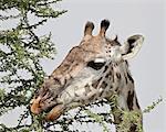 Masai girafe (Giraffa camelopardalis tippelskirchi) manger, Parc National du Serengeti, Tanzanie, Afrique de l'est, Afrique
