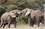 Deux éléphant d'Afrique (Loxodonta africana) sparring, Parc National du Serengeti, en Tanzanie, Afrique de l'est, Afrique