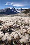 Champ de Dryade jaune (jaune Dryade) (Dryas drummondii) au stade de la gousse de semences, Parc National Jasper, patrimoine mondial de l'UNESCO, Alberta, Rocky Mountains, Canada, Amérique du Nord
