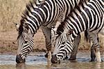 Zèbre de Chapman deux (Plains Zebra) (Equus burchelli antiquorum) boire, Kruger National Park, Afrique du Sud, Afrique