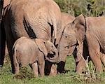 Groupe de l'éléphant d'Afrique (Loxodonta africana) y compris les jeunes, Addo Elephant National Park, Afrique du Sud, Afrique