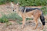 Black-backed jackal (silver-backed jackal) (Canis mesomelas), Addo Elephant National Park, South Africa, Africa