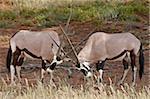 Deux Oryx (oryx d'Afrique du Sud) (Oryx gazella) sparring, Kgalagadi Transfrontier Park, qui englobe l'ancien Kalahari Gemsbok National Park, Afrique du Sud, Afrique