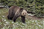 Grizzli (Ursus arctos horribilis) avec source fraîche de neige, Parc National de Yellowstone, patrimoine mondial UNESCO, Wyoming, États-Unis d'Amérique, Amérique du Nord