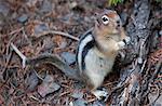 Eichhörnchen Essen, Lake Louise, Banff Nationalpark, Alberta, Kanada, Nordamerika