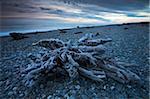 Reste énorme des arbres morts depuis longtemps se trouve dispersés sur Gillespies Beach, côte ouest, île du Sud, Nouvelle-Zélande, Pacifique