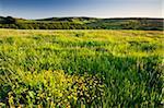 Buttercups flowering in a meadow near Wheddon Cross, Exmoor National Park, Somerset, England, United Kingdom, Europe