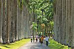 Avenue de latanier, palmier dans le Royal Botanic Gardens, populaire auprès des familles et des jeunes couples, Peradeniya, près de Kandy, Sri Lanka, Asie