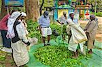 Plantation Tamil Frauen Absackung und wiegen geschätzt Uva Tea von einem Tempel in der Nähe von Ella im zentralen Hochland, Ella, Sri Lanka, Asien