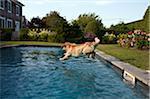 Golden Retriever jumping into a pool.