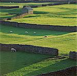 Moutons paissant dans les pâturages rurales