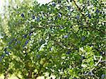 Pflaumenbäume in Orchard, Hipple Farmen, Beamsville, Ontario, Kanada