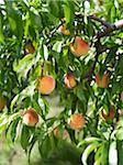 Peaches sur arbre Branches, fermes Hipple, Beamsville, Ontario, Canada