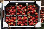 Geerntete Erdbeeren, DeVries Farm, Fenwick, Ontario, Kanada